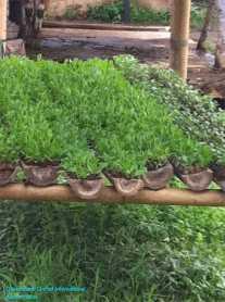 Nursery Seedlings Growing in Bamboo Troughs
