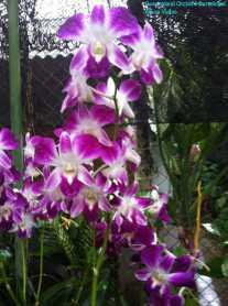 Orchid Nursery at Sanur, Bali (7)