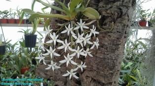 Mystacidium capense 'Nasarka' in 2012 (1)