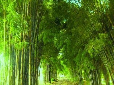 10 Gambar Hutan Bambu Keputih Surabaya Harga Tiket Masuk