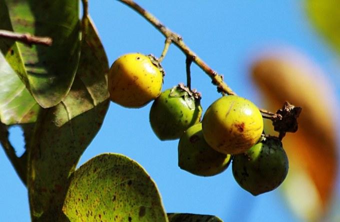 Murici possui alto potencial nutricional, diz Embrapa