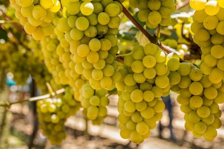 Vinícola Góes (SP) oferece tour pelos vinhedos