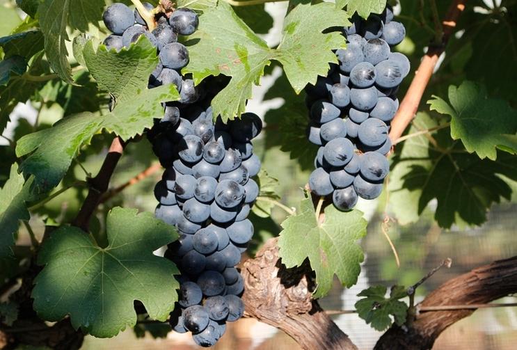Dupla poda consolida Sudeste como novo polo viticola Foto Epamig