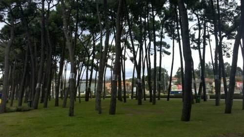 panorama pinos samil procesionaria