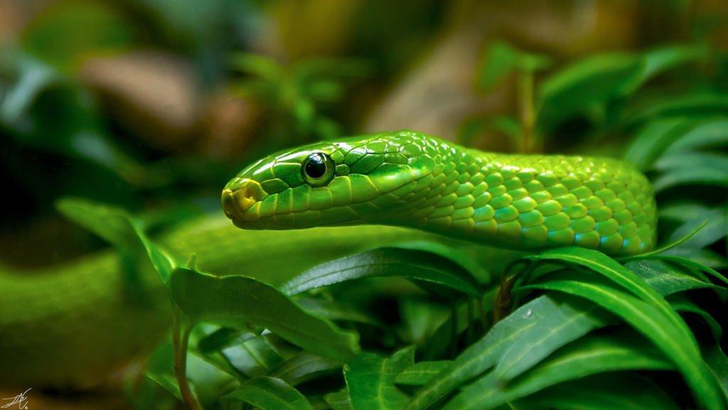 Invasión de Serpientes en Vigo