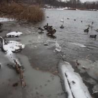 ¿Qué hacen los patos del lago cuando llega el invierno y las aguas se hielan?