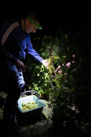 reportage lors des vendanges nocturnes chez Champagne Trepo Leriguier