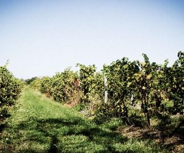 Finger Lakes NY Vineyard