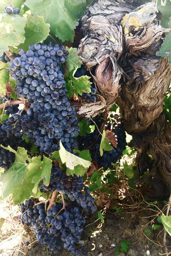 Feudo Montoni's Vrucara Cru Vine