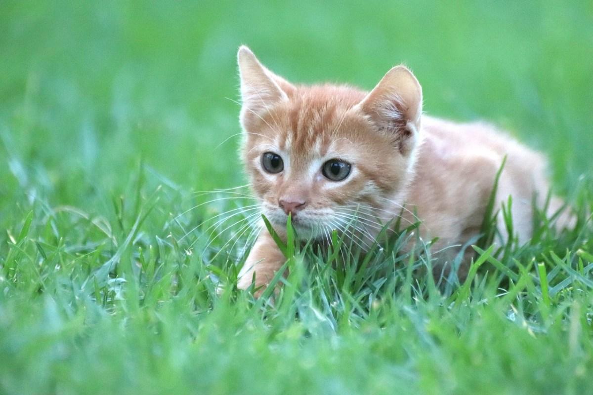 gatos hierba gatera