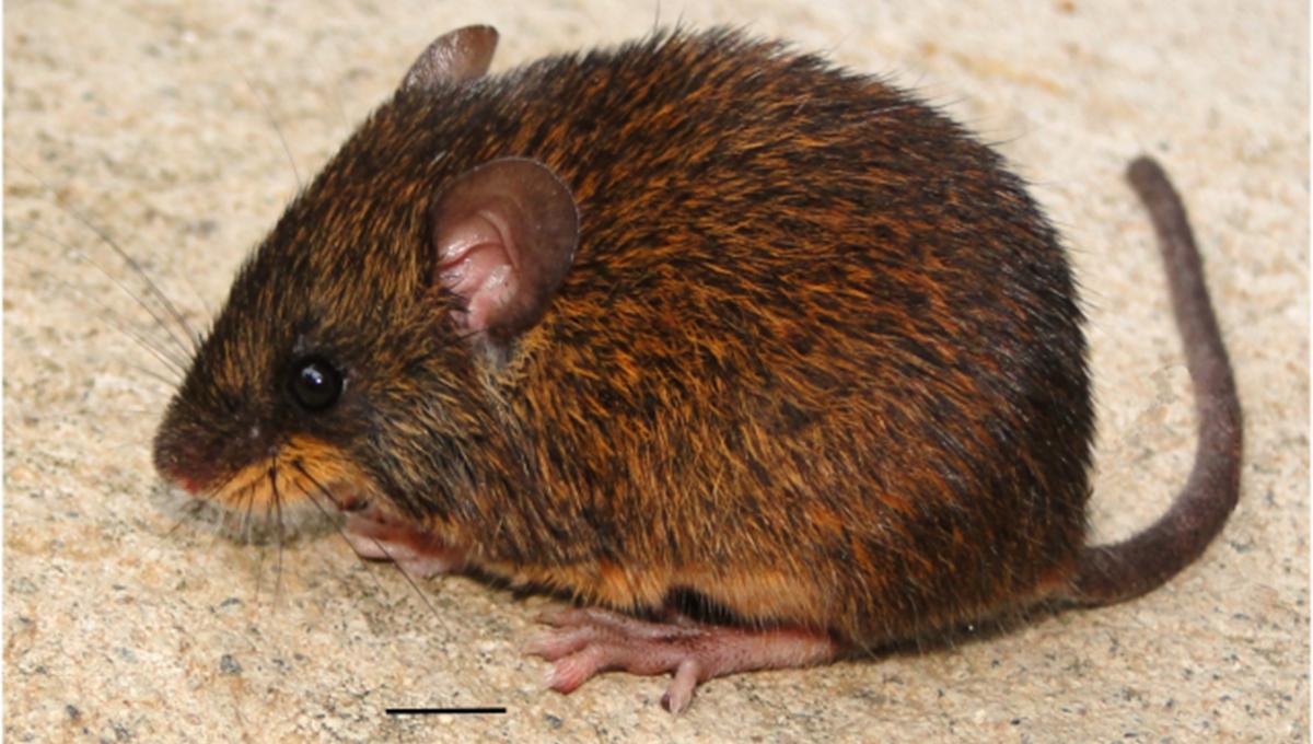 nueva especie de ratón