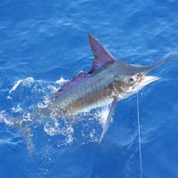 Marlin Fishing Quepos
