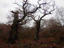 ncient Oaks of Sherwood