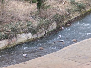 Ducks in the Mill Race