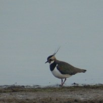 Lapwing at Carsington Water