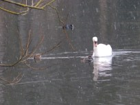 Swan and Gadwall and snow