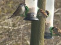 Tree Sparrows at Blacktoft Sands
