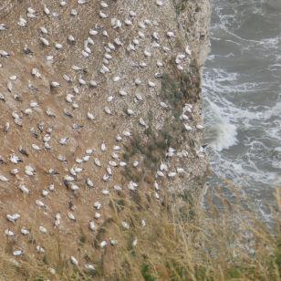 Gannrts on Bempton Cliffs