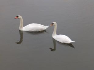 Mute Swans at Budby Flash