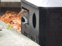 Squirrel in a bin - Clitheroe Castle