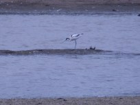 Distant Avocet