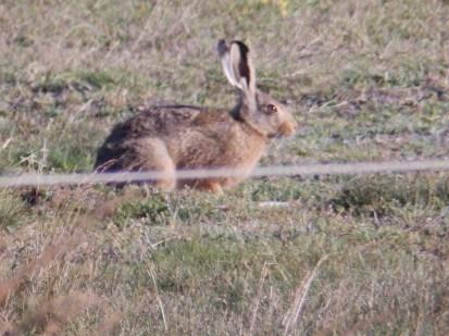 Hare on Norfolk saltmarsh