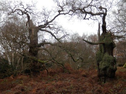 Old Oaks of Sherwood Forest