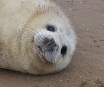 Seal pup - Donna Nook, Lincolnshire