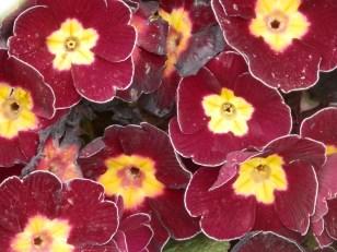 Primulas/Auriculas