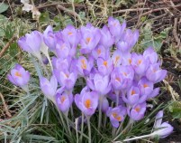 Crocus at Nottingham