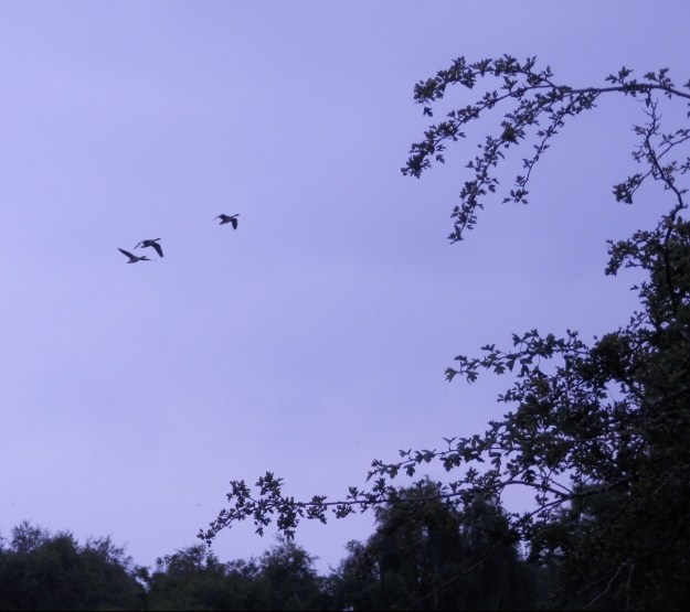 Geese coming in to land - Budby Flash