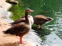 Greylag Goose Arnot Hill Park Arnold