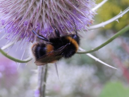 Bumblebee - Sherwood, Nottingham