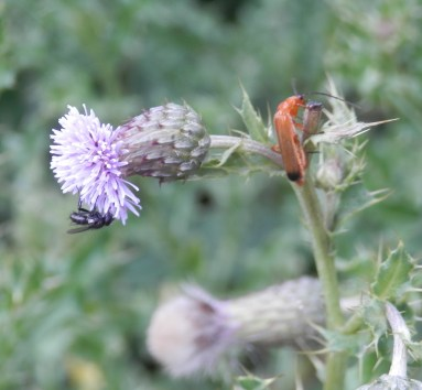 Insects on Thistles