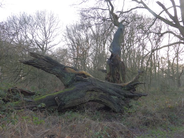 Old Oaks of Sherwood Forest