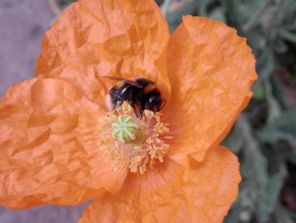 Bee on Welsh Poppy
