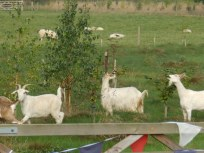 Escaped Goats in the labyrinth