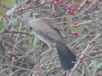 Fieldfare and hawthorn berries