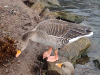 Greylags browsing the remains of garden plants