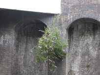 Buddleia on the old arches