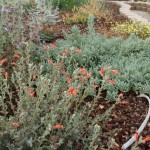 These native plants can sail through the heat with few problems - just provide a little (probably less than you think) extra water early one or two mornings.
