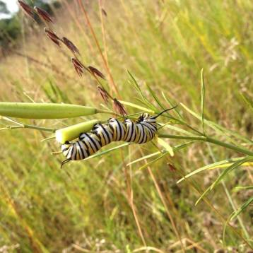 monarch caterpillar munching on whorled milkweed
