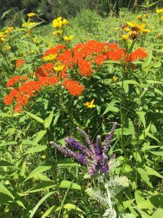 butterfly milkweed_leadplant_coreopsis