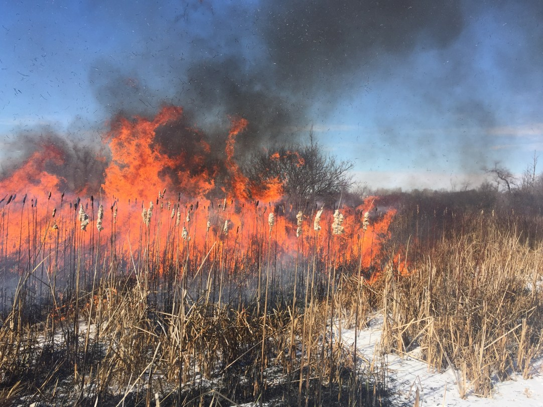 Winter cattail burn