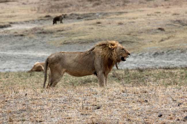 Soñar que un león se come a mi familia