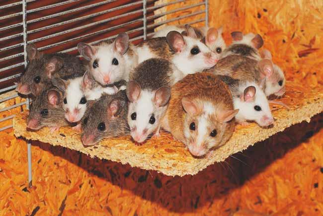 Soñar con muchos ratones en casa