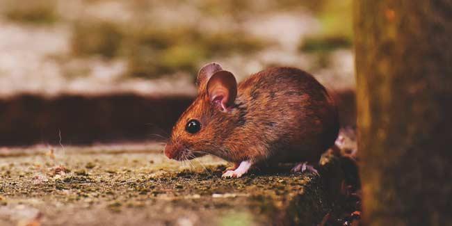 Soñar con ratones corriendo