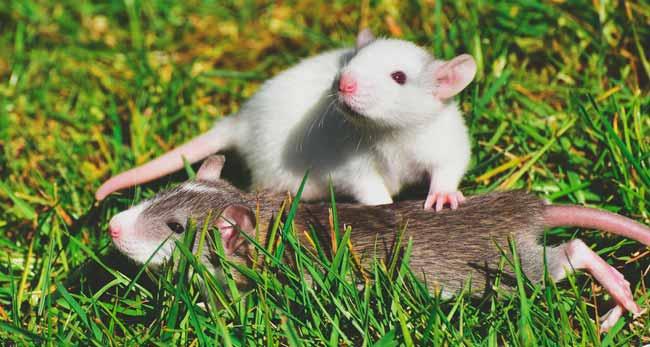 Soñar con ratas y ratones corriendo