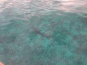 Shark at Warderick Wells
