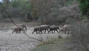 Elephants at Rajaji National Park
